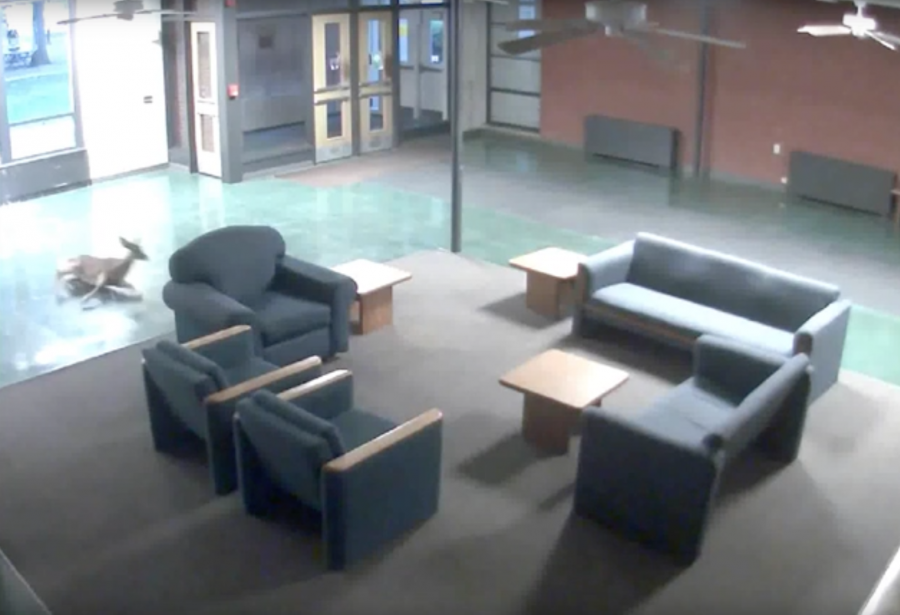 Deer+crashes+into+Westerlin+Hall